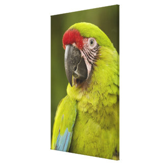 Military macaw (Ara militaris) CAPTIVE. Amazon Gallery Wrapped Canvas