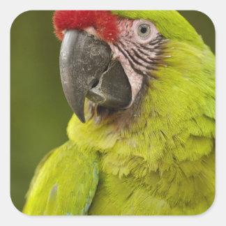 Military macaw (Ara militaris) CAPTIVE. Amazon Square Sticker