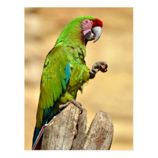 Military macaw perched postcard