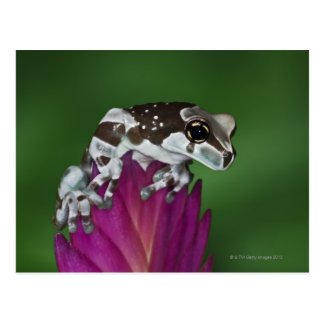 Milk Frog, Trachycephalus resinifictrix Postcards