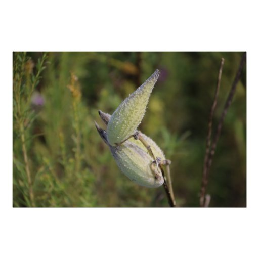 Milk Weed Pod Posters