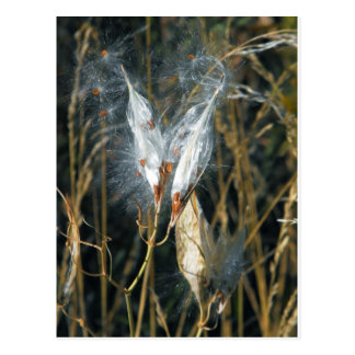 Milk Weed Pods Postcard