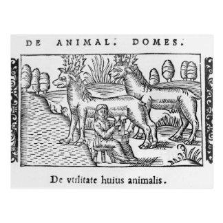 Milking reindeers postcard