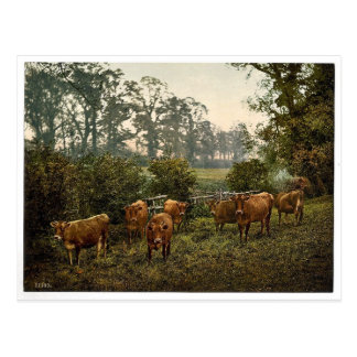 Milking time, England magnificent Photochrom Post Card