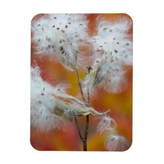 Milkweed seeds in autumn, Canada Rectangular Photo Magnet