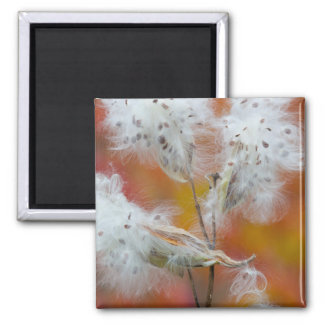 Milkweed seeds in autumn, Canada Square Magnet