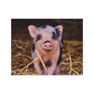mini pig canvas print