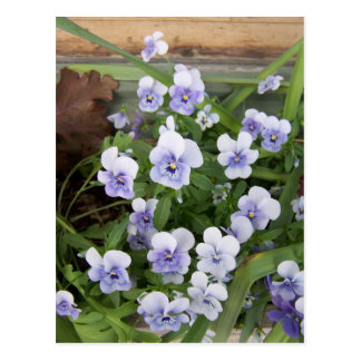 Mini Purple Violets Flowers Postcard