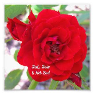 Mini Red Rose & Her Bud Macro Stock Photo