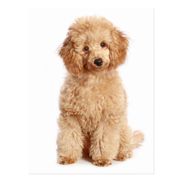 Miniature Apricot Poodle Puppy Dog Blank Postcard Zazzle Com Au