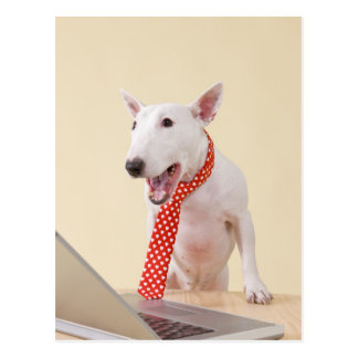 Miniature Bull Terrier looking at laptop, Postcard