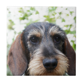 Miniature Wire Haired Dachshund Ceramic Tile
