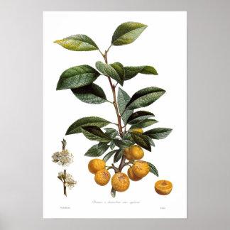 Mirabelle plum (Prunus x domestica var. syriaca) Poster