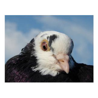 Miss Pigeon Postcard