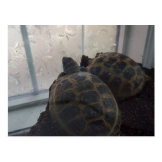 Missing You Russian Land Tortoise Post Cards