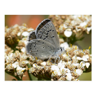 Mission Blue Butterfly Postcard