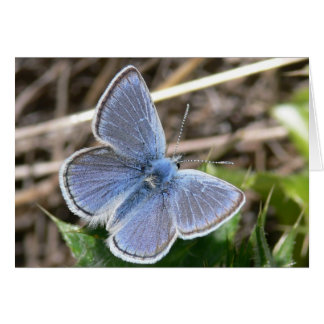 Mission Blue Male Butterfly Card