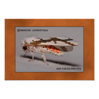 Missouri Red-tailed Specter Moth. Poster