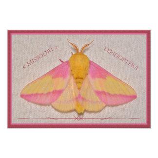 Missouri Rosy Maple Moth Deluxe. Photo Print