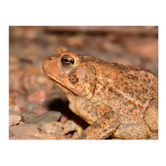 Missouri Toad Postcard