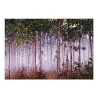 Mist among pine trees at sunrise, Everglades Photo Print