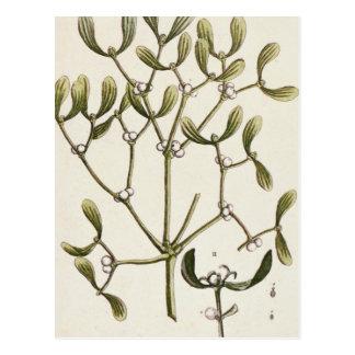 Mistletoe from 'A Curious Herbal', 1782 Postcard