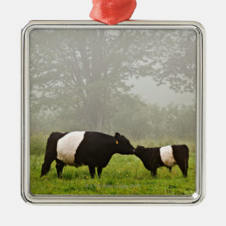 Misty scene of belted galloway cow mothering her metal ornament
