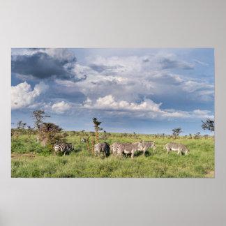 Mixed Herd Of Grevy's Zebra (Equus Grevyi) Poster