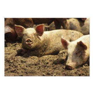 MO: Ste Genevieve, pig farm Photograph