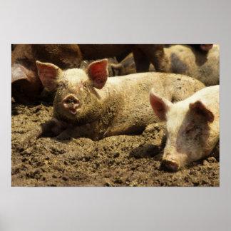 MO: Ste Genevieve, pig farm Print