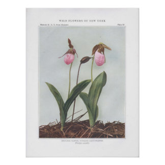 Moccasin Flower; Stemless Lady's-Slipper Poster