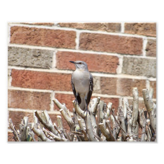 Mocking Bird on Bush in Front of Brick Building Photo Print