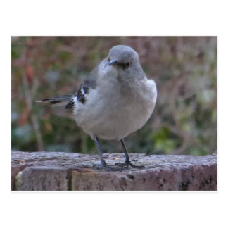 Mocking Bird Postcard