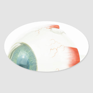 Model human eye isolated on white background.jpg oval sticker