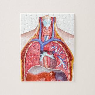 Model internal human body on white background jigsaw puzzle