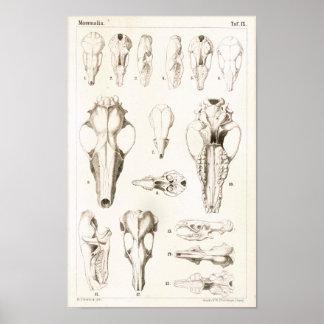Mole and Shrew Skulls Veterinary Anatomy Print