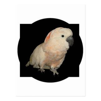 Moluccan Cockatoo Parrot Design Postcard