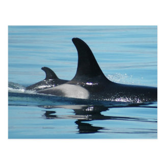 Mom and Baby Orca Postcard