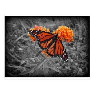 Monarch and Monochrome Postcard