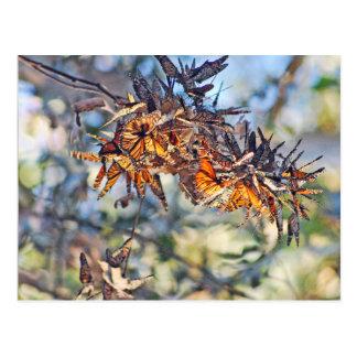Monarch butterflies clustering postcard