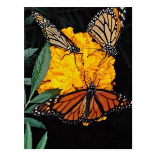 Monarch butterflies feeding  flowers postcard
