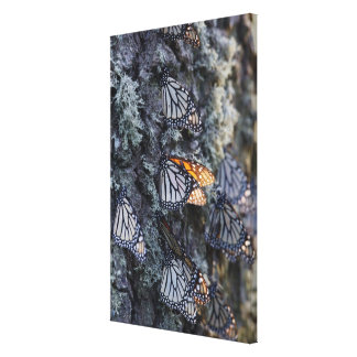 Monarch Butterflies on Pine Tree, Sierra Chincua 2 Stretched Canvas Prints
