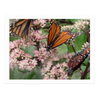 Monarch Butterflies Post Cards