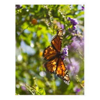 Monarch Butterfly 2 Postcard