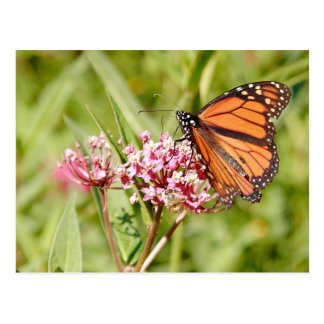 Monarch Butterfly and Friend Postcards