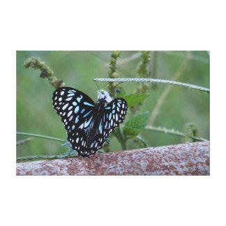 MONARCH BUTTERFLY BLUE RURAL QUEENSLAND AUSTRALIA STRETCHED CANVAS PRINTS