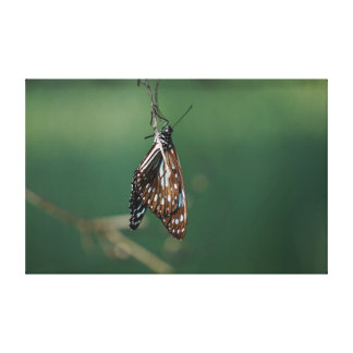 MONARCH BUTTERFLY BROWN RURAL QUEENSLAN AUSTRALIA STRETCHED CANVAS PRINT