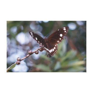 MONARCH BUTTERFLY BROWN RURAL QUEENSLAND AUSTRALIA STRETCHED CANVAS PRINT