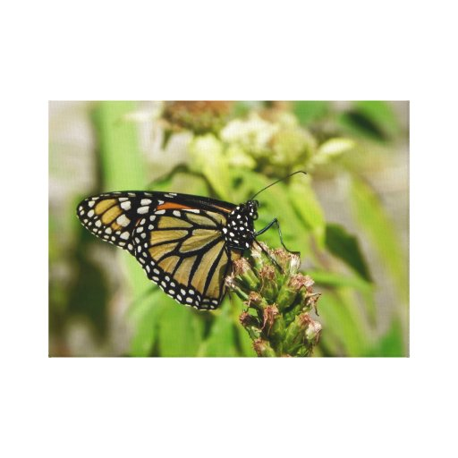 Monarch Butterfly Canvas Stretched Canvas Print