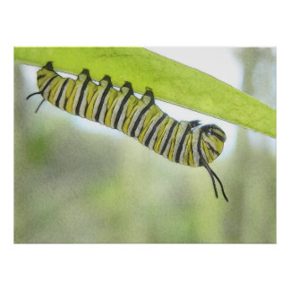 Monarch Butterfly Caterpillar Exploring A Milkweed Poster